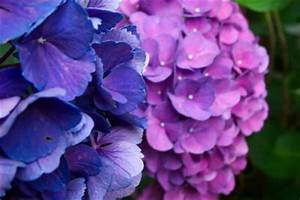 Hortensie Als Zimmerpflanze : hortensie hat braune bl tter was tun ~ Lizthompson.info Haus und Dekorationen