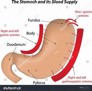 Stomach Blood Supply Labeled Diagram Stock Vector