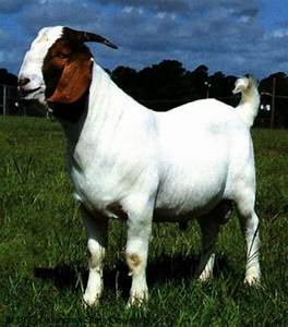New Goat (Bakra) HD Wallpapers Pictures Images Photos ...