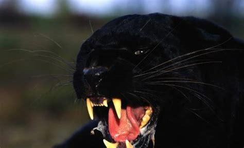 schwarzer als dünger schwarzer als haustier so etwas wie ne riesen katze