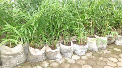 contoh laporan hasil observasi tanaman jahe nyekolahcom