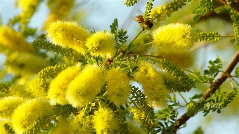 tree   week senegalia greggii catclaw acacia