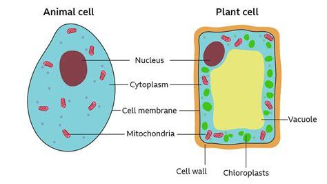 cells bbc bitesize