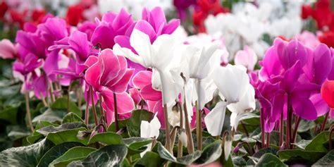 terrazzo in fiore cure per i ciclamini sfioriti cose di casa
