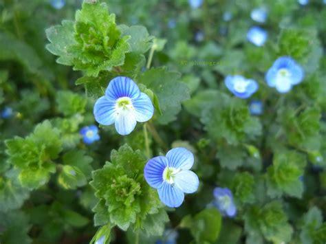 anastasia: floare-albastră....