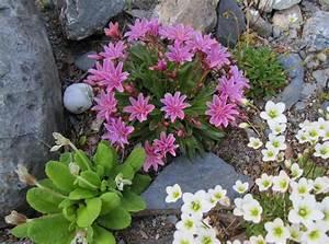 Steinbeet Pflanzen Winterhart : science of the season set sights alpine high in rock ~ Watch28wear.com Haus und Dekorationen