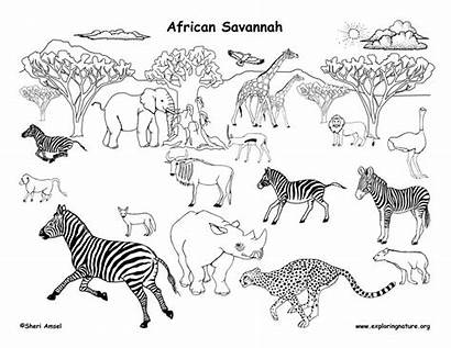 Animals African Grassland Coloring Pages Savannah Savanna