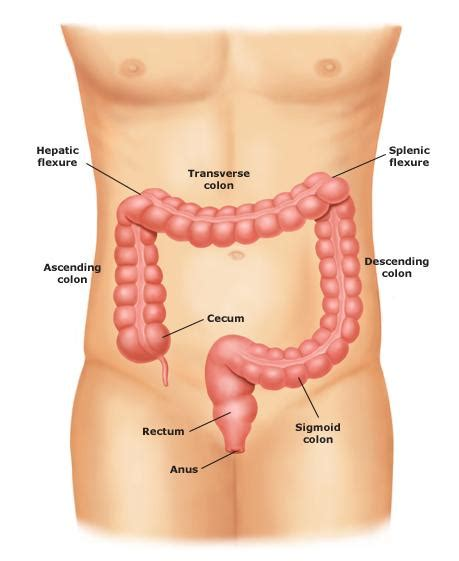 The Anatomy and Function of a Healthy Colon