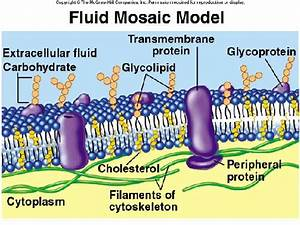 Science  Organization Of Cell Membrane
