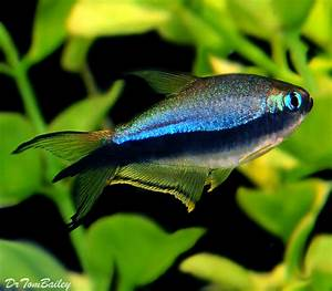 A beautiful Black Emperor Tetra from the Amazon Rainforest ...