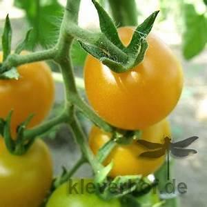 Tomaten Blätter Gelb : sch nhagener fr he mittelgrosse fr chte tomaten gelb mittelgross tomaten bio saatgut ~ Frokenaadalensverden.com Haus und Dekorationen