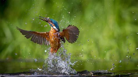 Nature Animals Wallpaper - nature animals birds kingfisher water drops wallpapers