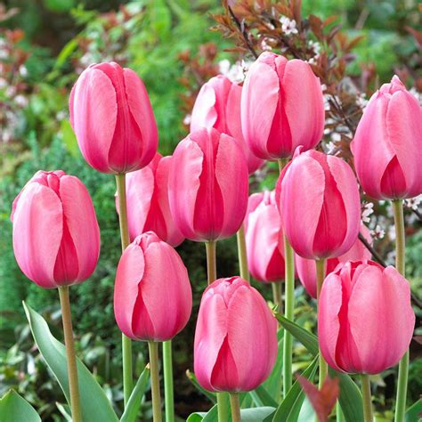 pictures of tulip bulbs bloomsz darwin tulip bulbs pink impression flower bulb 20 pack 07640 the home depot