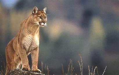 98 Windows Puma Wallpapers Cougar Animals Background