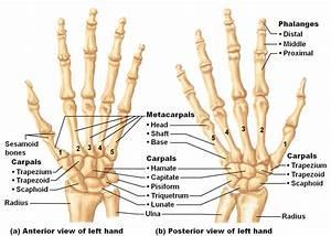 Bones Of The Hands