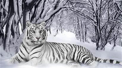 Tigre Tiger Wallpapers Blanco Compartir Escribe Electronico