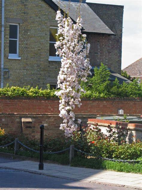 prunus trees for small gardens prunus amanogawa garden pinterest