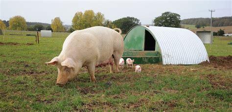 pig world uk pig industry news farming  jobs