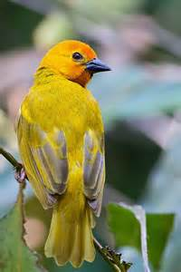Golden Palm Weaver Birds