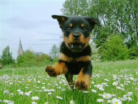 cute rottweiler puppy pictures  images