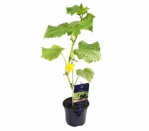 Mini Gurken Pflanzen : gourmet garten minigurke 39 quatro 39 veredelt dehner garten center ~ Buech-reservation.com Haus und Dekorationen