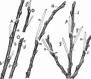 30 How To Prune A Fig Tree Diagram