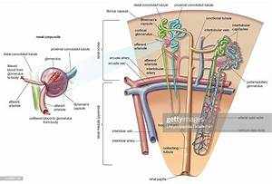 At One End Of Each Nephron In The Mammalian Kidney Exists