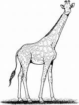 Giraffe Coloring Pages Drawing Outline Clipart Line Animals Cliparts Clip Printable Cartoon Wildlife Library sketch template