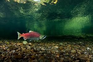 Sockeye Salmon - Underwater images.