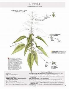 Foraging Tips Edible Plants Nettle Urtica Diocia 2