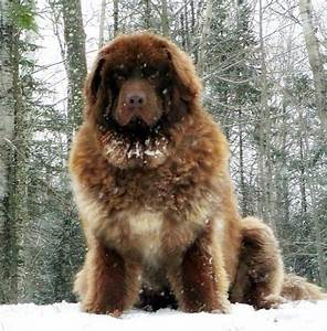 Caucasian Shepherd Dog - All Big Dog Breeds