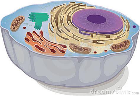 kern mitochondrie endoplasmatisch reticulum golgi appa