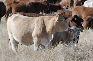 Vaccinations For The Beef Cattle Herd
