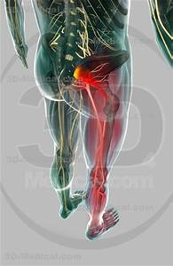 Piriformis Muscle  Piriformis Syndrome And Disorders On