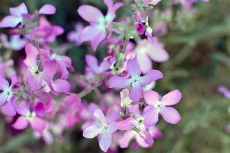 19 Fragrant Flower And Shrub Favorites  Gardener's Path