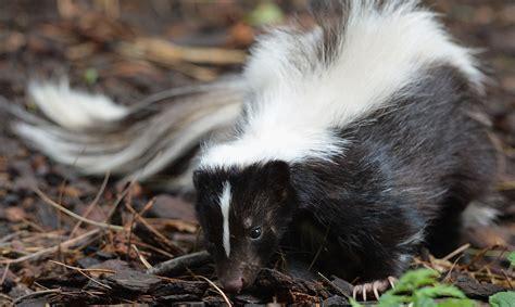 remove skunk odor  clothes  camping equipment