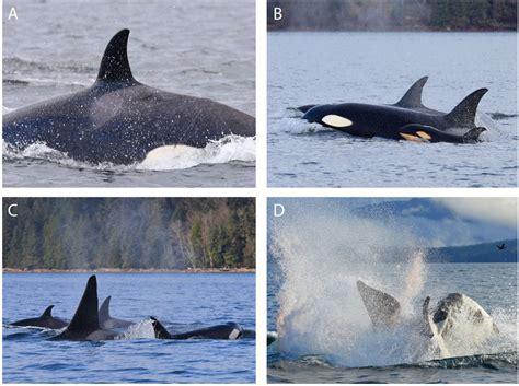 orca kills calf    mate   mother video