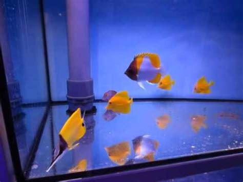 aquarium noyelles sous lens forcipigger flavissimus w seafarm doovi