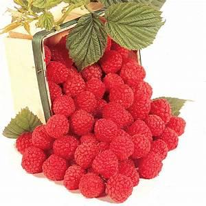 Heritage Red Raspberry - Raspberry Plants