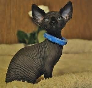 sphynx cat for ohio 30 best images about sphynx bambino on cats i