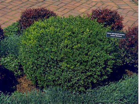 small evergreen shrubs deciduous shrubs