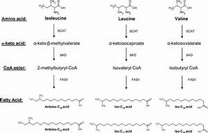 Pathways Of Branched Chain Fatty Acid  Bcfa  Synthesis In B  Subtilis