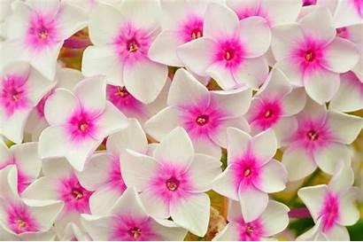 Petals Phlox Pink Flowers