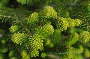 This Grandmother U0026 39 S Garden  Bloomin U0026 39  Evergreens