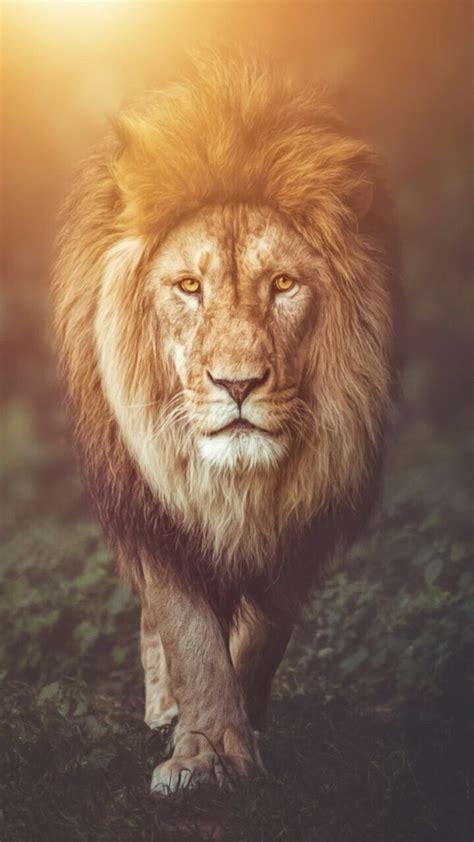 lion wallpaper background wallpapers   lion