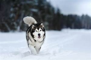 alaskan malamute dog photos