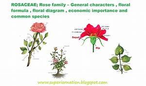 Rosaceae  Rose Family  U2013 General Characters   Floral