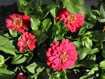 Zinnia Flower Flowers Garden Royalty Plants