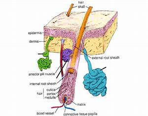 Bio 141 Lect 03 Sweat Glands Diagram