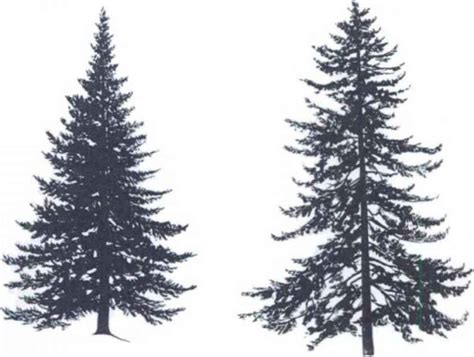 Christmas Tree Types Oregon by Tree Silhouettes Small Tree Medicinal Plants Archive